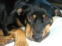 Missing Rottweiler in Mount Vernon, Iowa