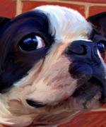 Boston Terrier, Robert McClintock