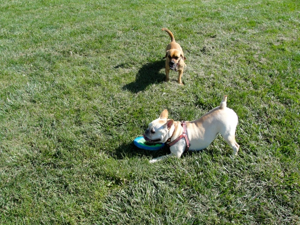 Izzy, frisbee and Suger.