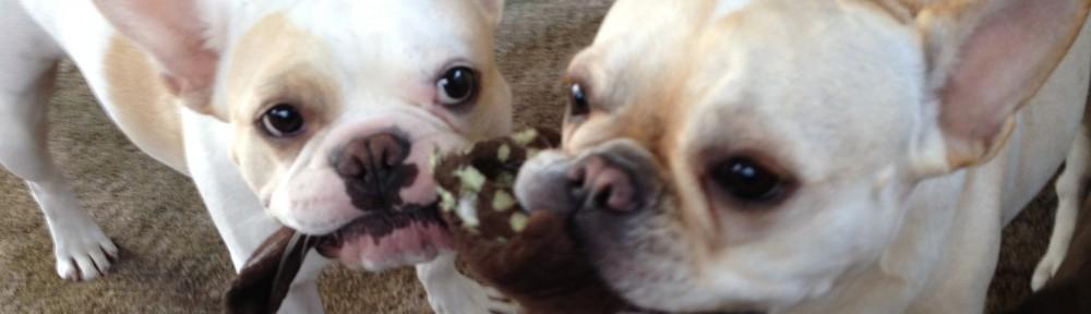 STOLEN #EnglishBulldog in #FortWorth #TX! #lost #missing